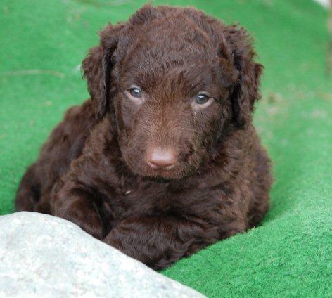 lever-vigo-puppy